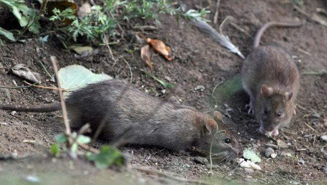70 тысяч домов в Китае остались без тепла из-за крыс