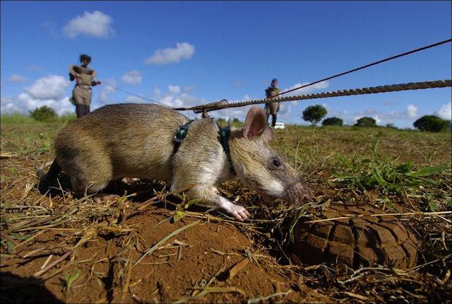 Африканские крысы продолжают искать мины