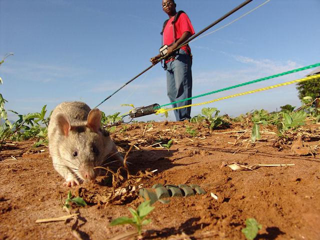 Африканские крысы - лучшие саперы в мире