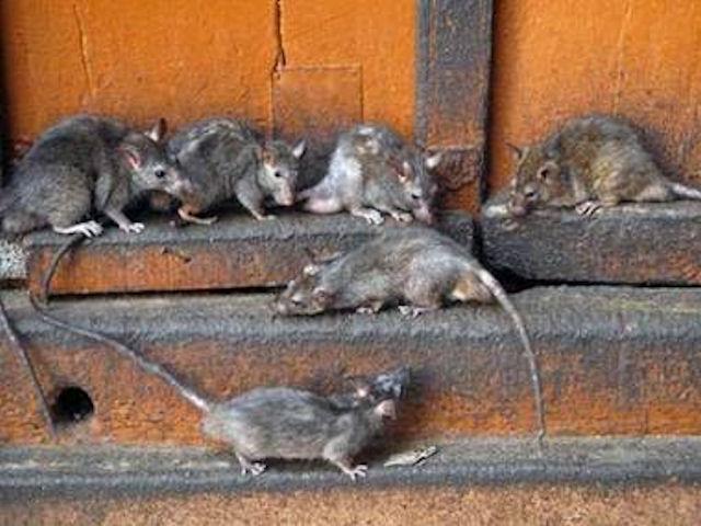 Алматы начали охоту на крыс и мышей