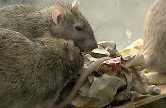 Американец содержал у себя дома 1300 крыс