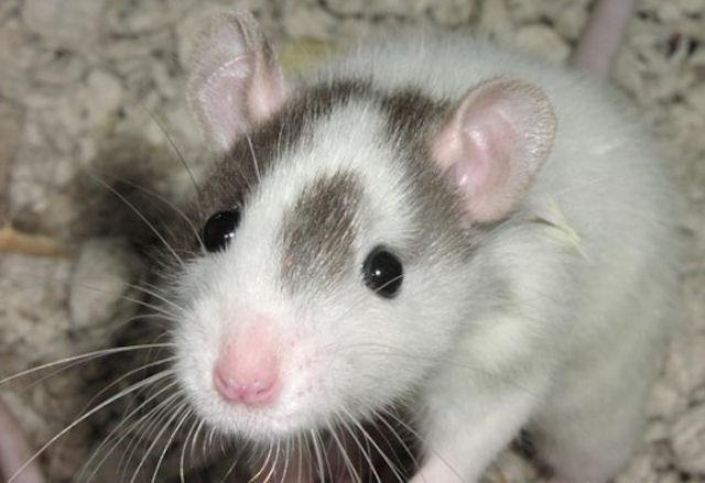 Американские крысы займутся поиском взрывчатки