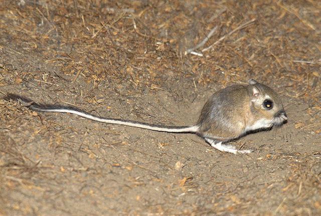 Американские ученые защитят кенгуровых крыс