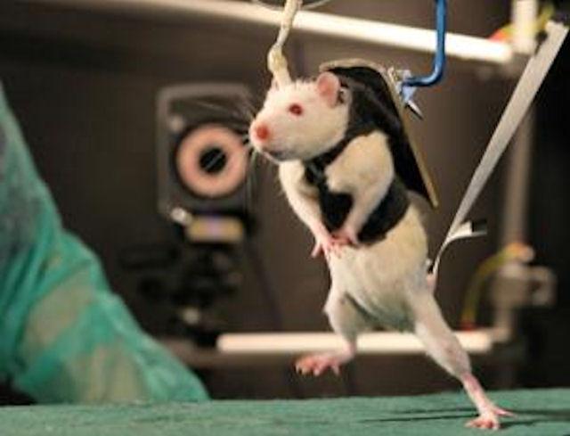 Американские ученые создали робота, которым управляет мышь