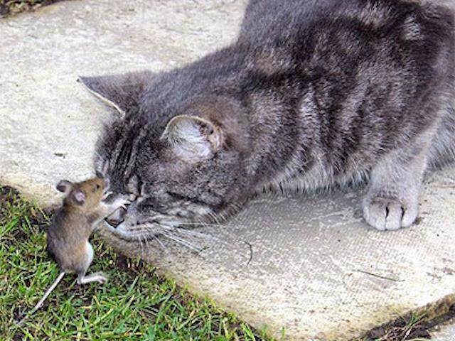 Английский мышонок обдурил кота