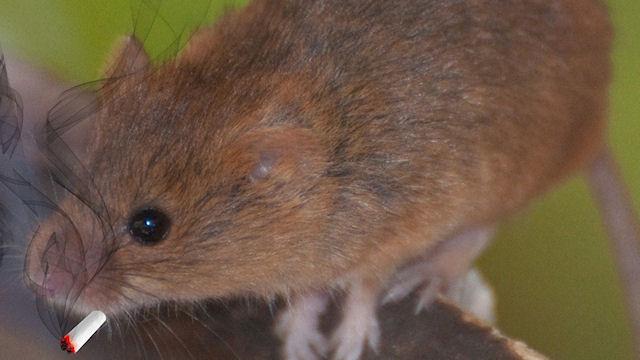 C помощью мышей ученые объяснили повышение аппетита от марихуаны