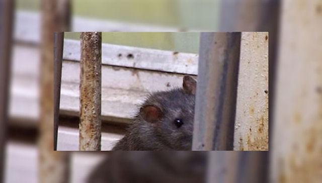 Автомобили латвийцев подвергаются нападению крыс из-за холода