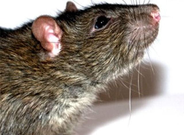Башкирские студенты жалуются на обнаглевших крыс