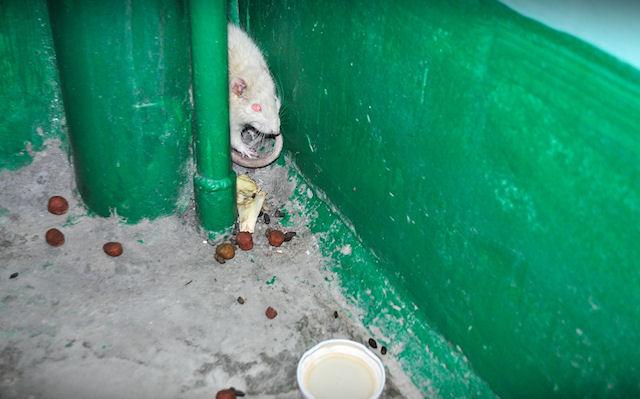 Белая крыса стала соседкой жителей одного из домов в Новочебоксарске
