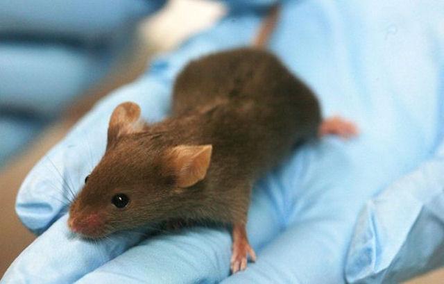 Японские генетики вывели бесстрашную мышь