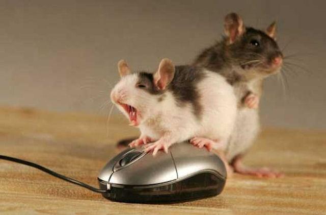 Биологи обнаружили у мышей нейроны, определяющие поглаживания