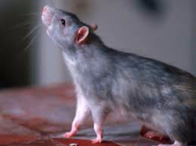 Благодаря крысам ученые поняли, как избавить людей от наркотической зависимости