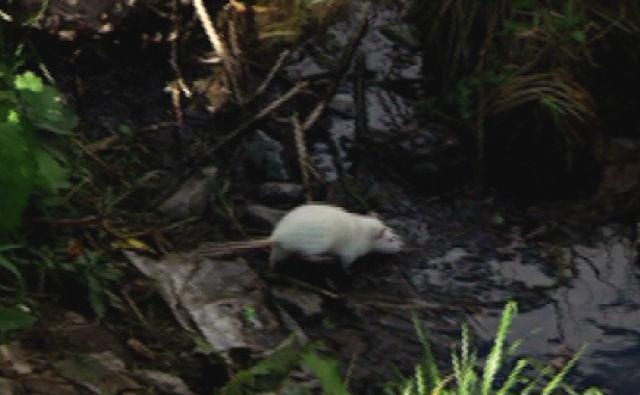 Болотные крысы стали соседями жителей одного из районов Кирова