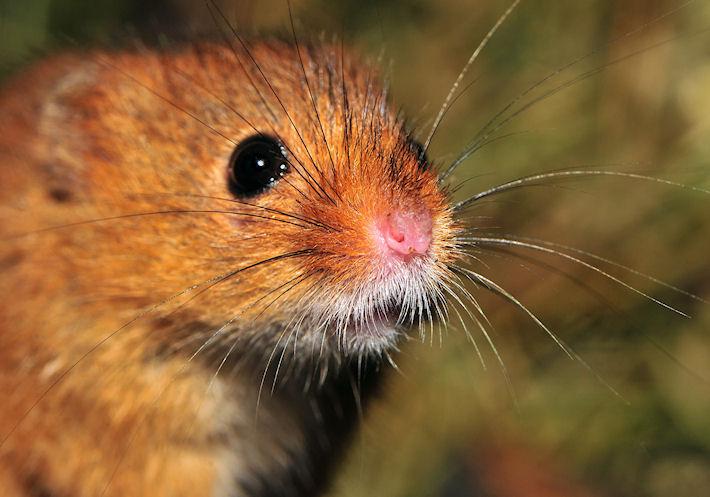Британец отсидел 1,5 месяца в тюрьме за убийство мыши