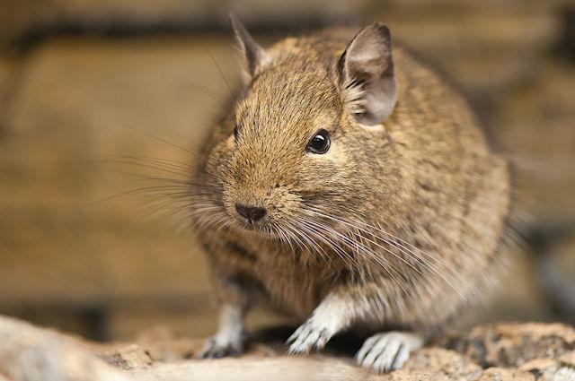 Чем дегу отличается от крысы?