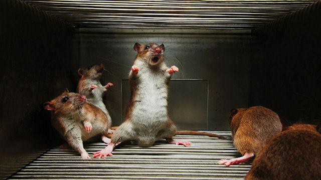 Что нам известно о крысиной логике?