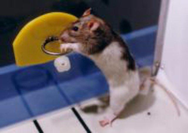 Чудеса крысиной дрессировки