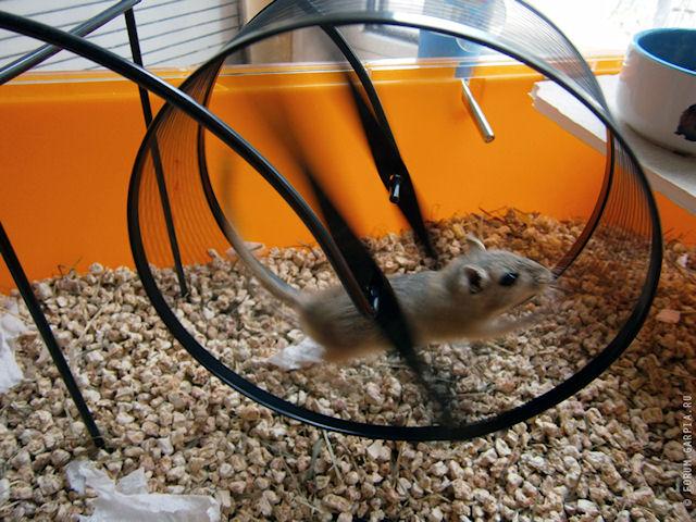 Даже дикие мыши любят бегать в колесе