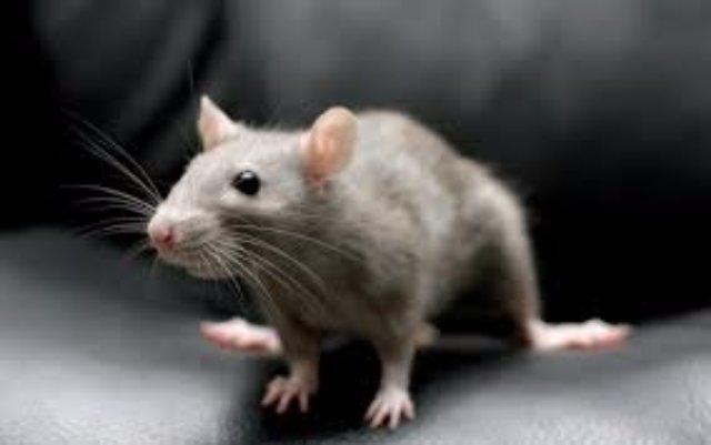 Декоративная крыса, которая хочет поселиться в Вашем доме