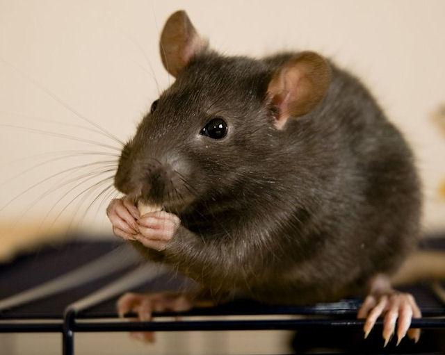 Дети из детского сада были укушены крысой со свалки