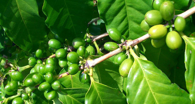Диета на зеленом кофе
