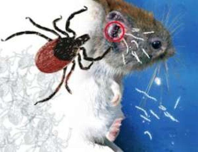 Дикие мыши придумали как противостоять некоторым болезням