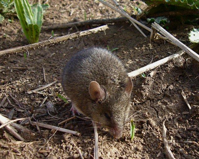 Для чего мыши-архитекторы строят съедобные дома?