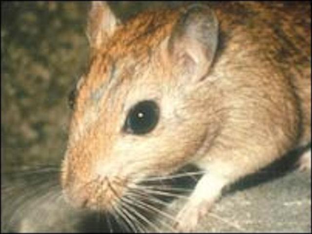 Домашние крысы и мыши могут заразить хозяев опасной болезнью