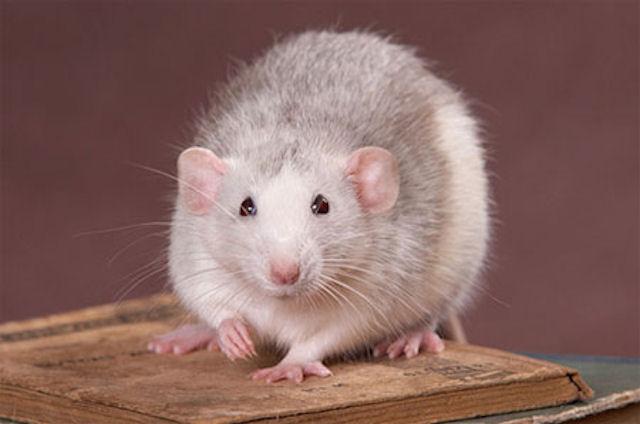 Домашняя крыса для ребенка