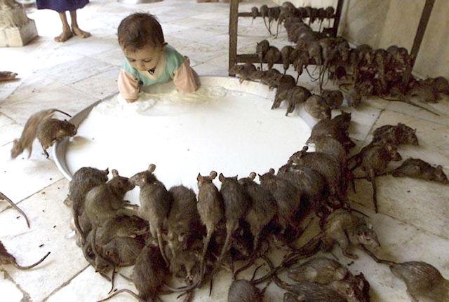 Двое детей стали жертвами крыс-мутантов