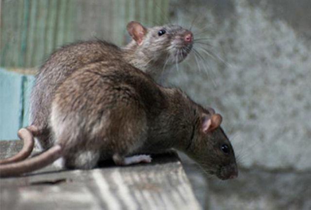Эндогенный пептид снижает зону инфаркта у крыс