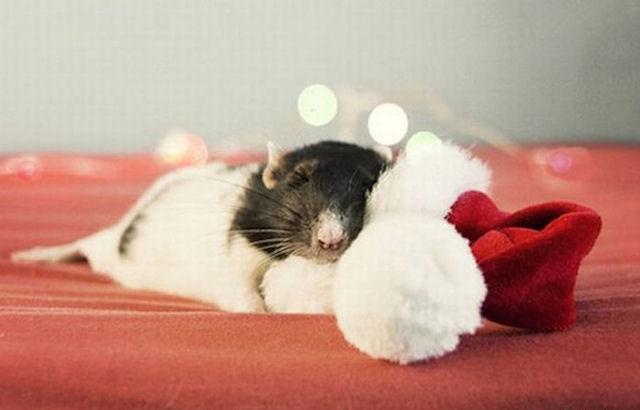 Ученые зафиксировали случаи гибели крыс от стресса