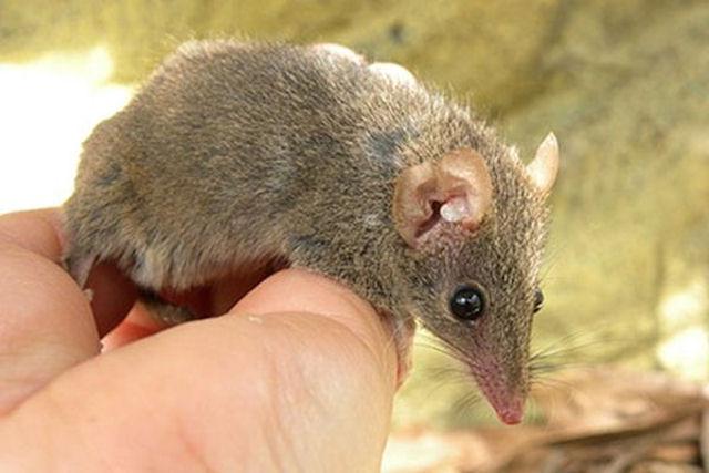 Выяснилась причина гибели самцов сумчатой мыши