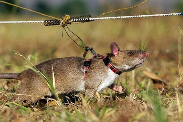 Гигантские африканские крысы научились вынюхивать туберкулёз