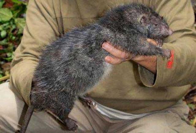 Гигантские крысы захватят Землю?