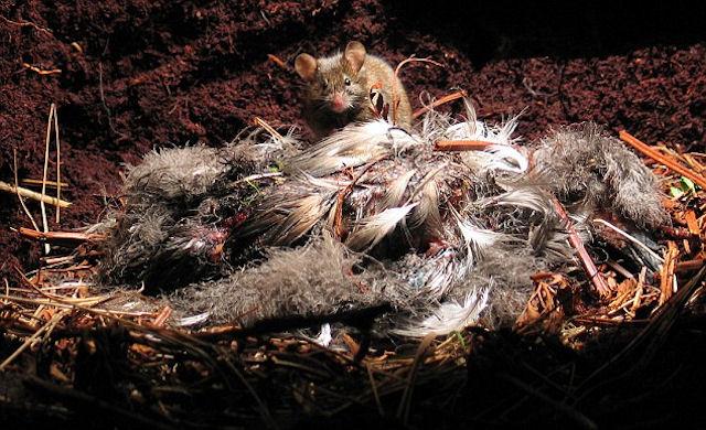 Гигантские мыши-убийцы захватили остров в Атлантическом океане