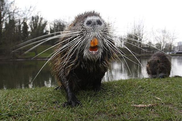 В Германии появились гигантские водяные крысы