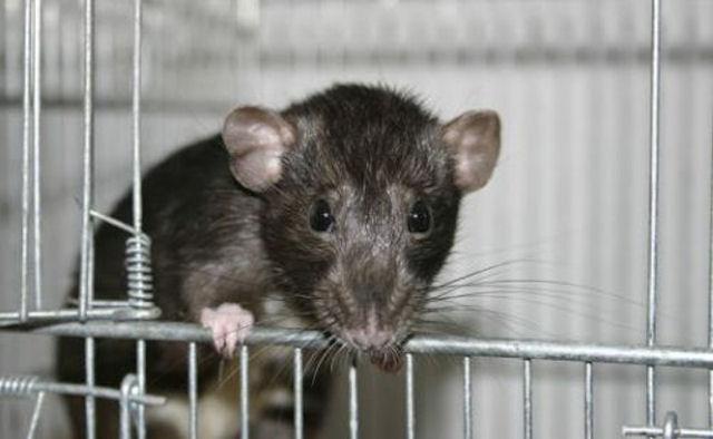 Голландские крысы стали работниками полиции