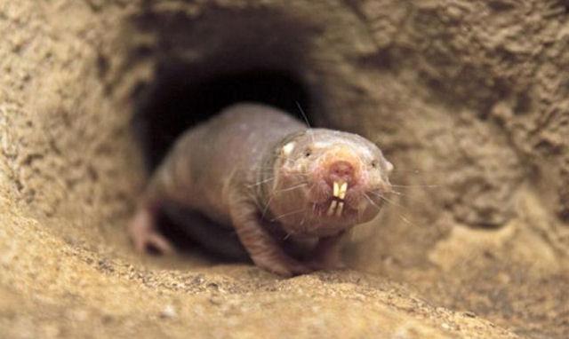 Грызуны «голые землекопы» не болеют раком