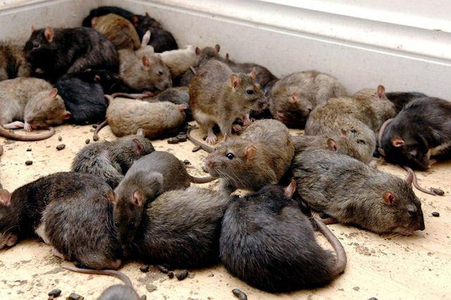 Грызуны стали мутантами в результате борьбы людей с крысами