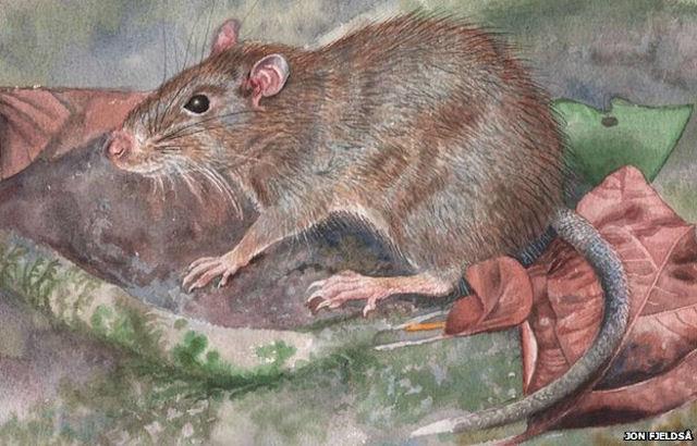 Halmaheramys bokimekot – новый вид крыс открыт в Индонезии