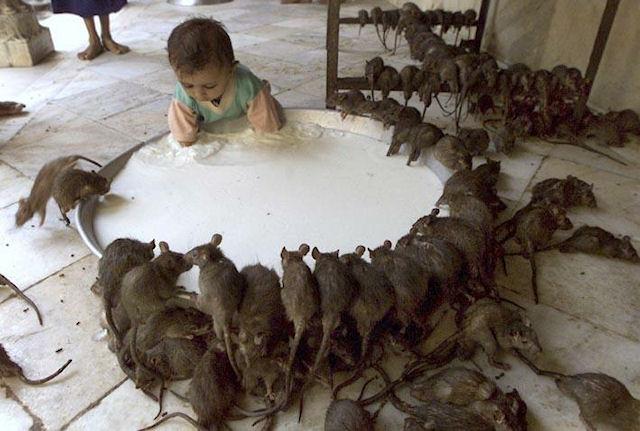 Индийские крысы превратились в алкоголиков