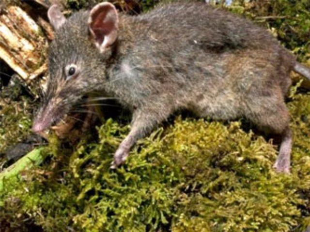 Индонезийские ученые нашли беззубых крыс