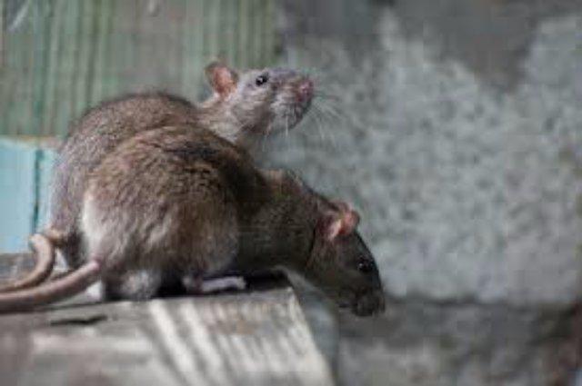 Иранские полицейские арестовали крыс-шпионов