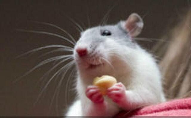 Иви — самая живучая немецкая крыса