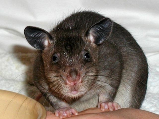 Из бельгийской квартиры выселили 46 гигантских крыс