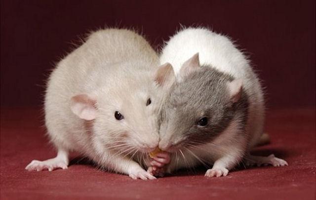 Как крысы определяют «главаря»?
