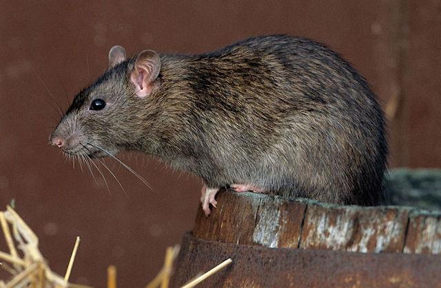 Какие опасные патогены скрывают крысы Нью-Йорка?