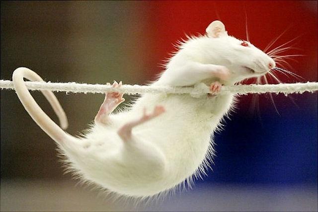 В Казани будут проводить соревнования по крысиному аджилити