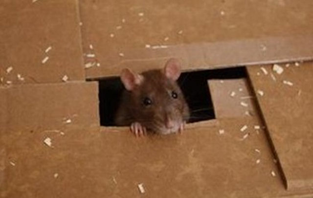 Киевляне жалуются на крыс
